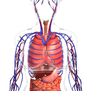 ademhaling systeem van de vrouw