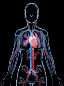 cardivasculair systeem van de vrouw