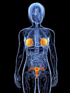 endocriene systeem van de vrouw