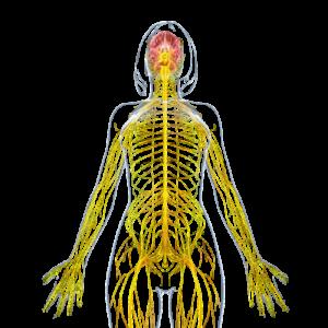 neurologisch stelsel van de vrouw