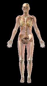 skelet stelsel van de vrouw